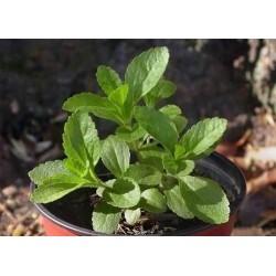 Semillas de Stevia Rebaudiana