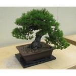 Semillas de Pino negro Japonés Pinus thunbergii