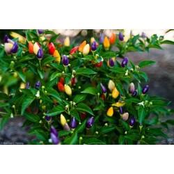 Semillas de Ají Boliviano Arco iris