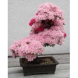 Semillas de Cerezo Japonés Prunus serrulata