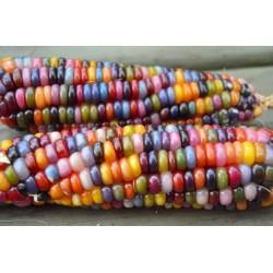 Semillas de Maíz Gema Cristal Multicolor
