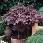 Semillas de Arce Púrpura Acer atropurpureum
