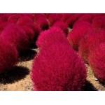 Semillas de Arbusto Kochia Scoparia