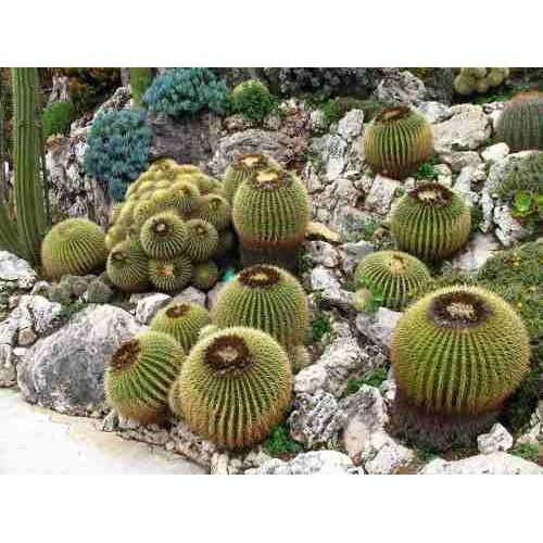 semillas de cactus barril de oro e grusonii tienda