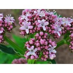 Semillas de Valeriana Valeriana officinalis