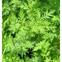 Semillas de Artemisa Artemisia vulgaris