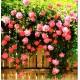 Semillas de Rosa Trepadora Rosada