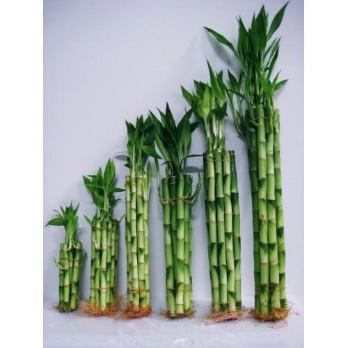 semillas bambu moso