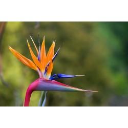 Semillas de Flor del Pájaro o Strelitzia Reginae