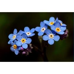 Semillas de Flor Nomeolvides