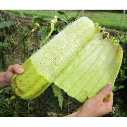 Semillas de Luffa o Lufa, Esponja Vegetal