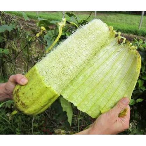 Semillas de luffa o lufa esponja vegetal tienda virtual - Esponja natural vegetal ...